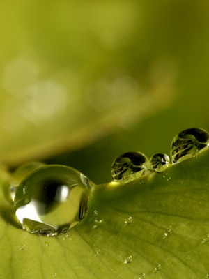 Water droplets resting on a leaf