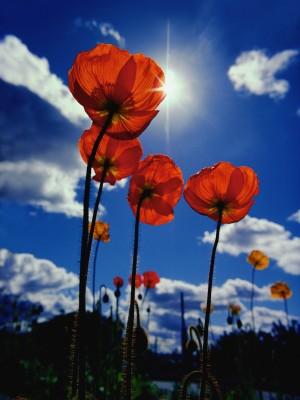 Poppies reaching for the blue sky