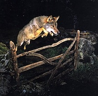Wolf Leaping over a Gate
